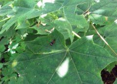 На Чернігівщині короїдів знищують за допомогою феромонів