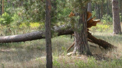 Ось чому звалені буревієм дерева не можна прибрати