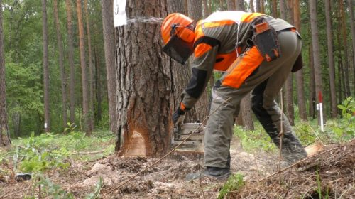 Як правильно спиляти дерево. Майстер-клас. Відео