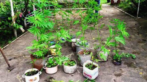 800 стебел коноплі виявили в домогосподарстві на Чернігівщині