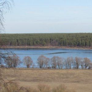 Лебеді-шипуни вже відчули весну — прилетіли на Чернігівщину