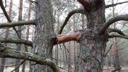 Чому не можна прибирати повалені дерева?