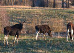 За тиждень на чернігівських автошляхах збили двох лосів