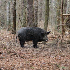 Стало відомо скільки на Чернігівщині мисливських тварин. Відео