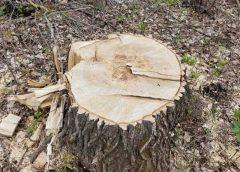 У Борзнянському районі невідомі особи незаконно зрубали 663 дерева