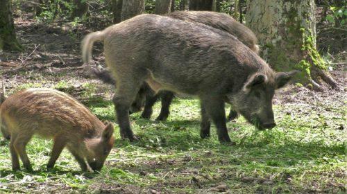 На Борзнянщині розповіли як відновлюють поголів`я диких свиней