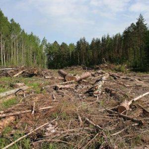 73 сосни незаконно зрізали в лісі на Корюківщині