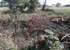 32 верби спиляли незаконно поблизу Чернігова
