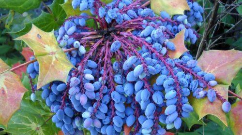 Про красиву і корисну рослину-ягоду розповіла лісокультурниця