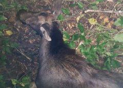 Ненажерливі істоти з мисливської зброї вбили лося європейського