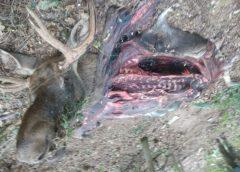 На Чернігівщині вбили червонокнижного лося