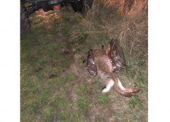 Незаконне полювання на зайців виявили у Чернігівській області