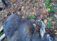 Лосиха потрапила у браконьєрський зашморг і загинула