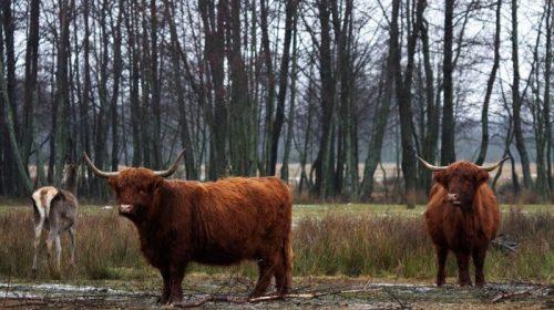 Полювання на шотландського бика в лісах Чернігівщини
