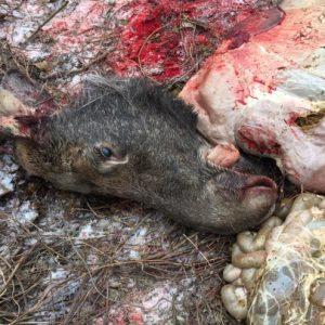 Чернігівщина: вбили і розчленували червонокнижного лося