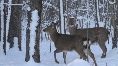 З 1 лютого розпочався на Чернігівщині облік диких тварин