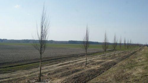 На Чернігівщині викорчовують старі дерева по-новому
