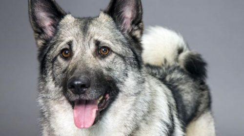 Норвезькі собаки з`явилися на Чернігівщині