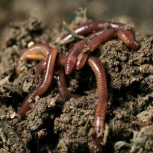 Каліфорнійські черв`яки розпочали свою діяльність на Чернігівщині