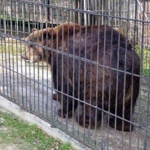 Держекоінспекція вилучила ведмедя з неволі